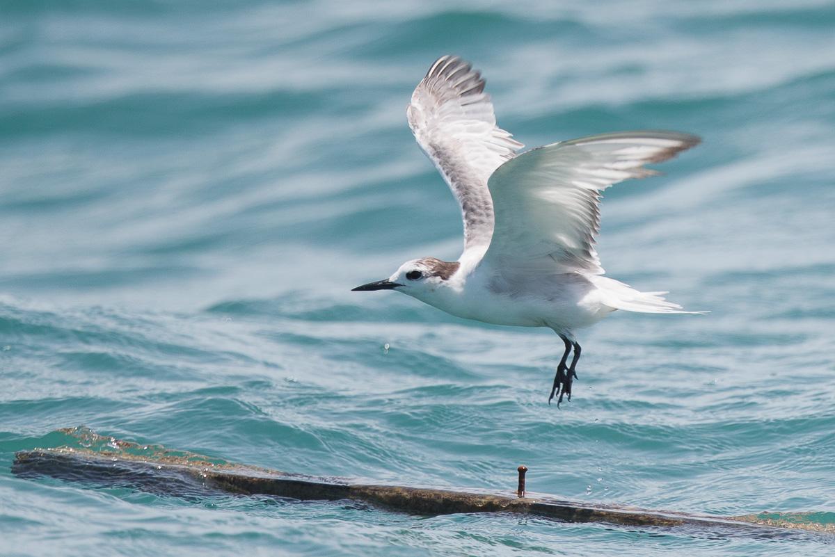 Aleutian Tern at Singapore Strait on a wooden plank, taking flight.