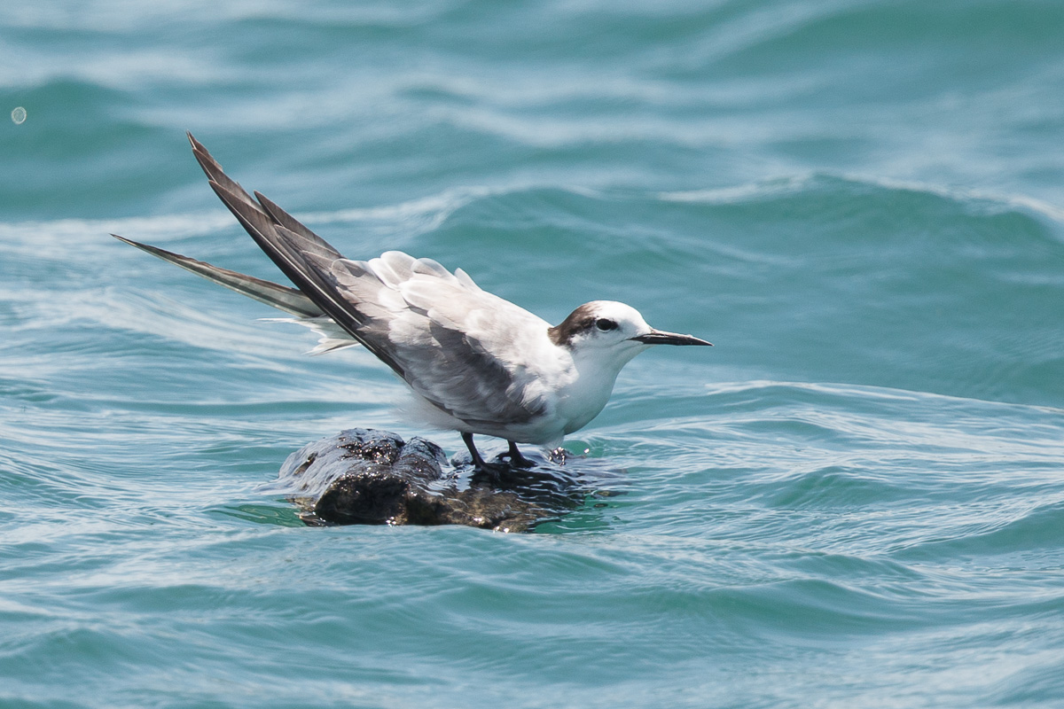 Aleutian Tern at Singapore Strait. It provided both boat with close views and shots.