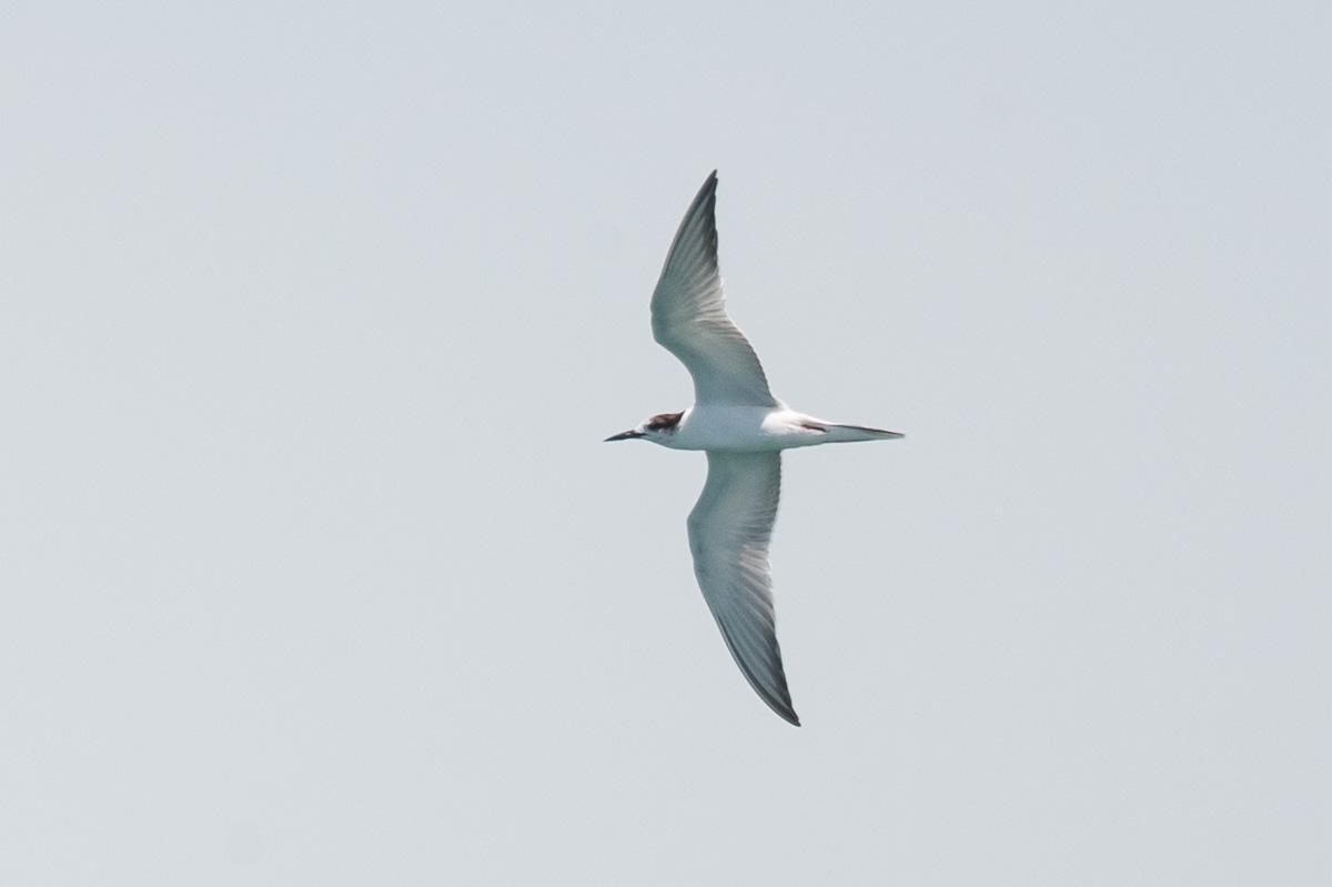 Common Tern at Singapore Strait