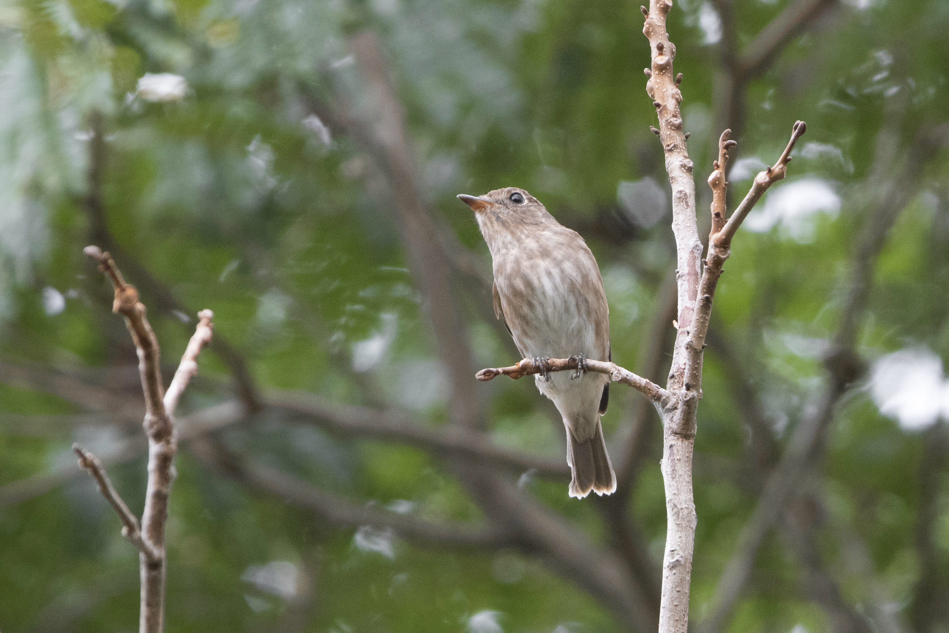Brown-Streaked Flycatcher 2_15-08-17_Singapore_CORRECTED
