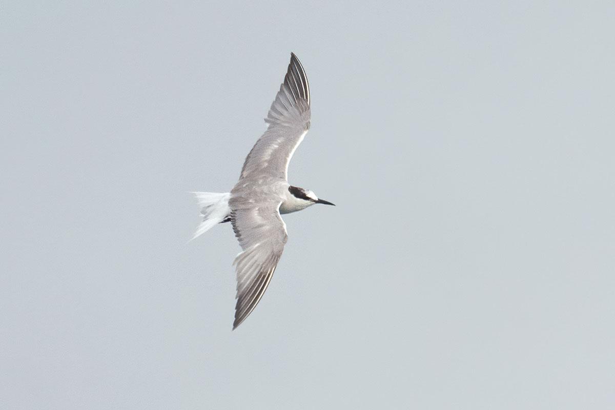Pelagic Bird Trip at the Singapore Strait – 20 September 2020
