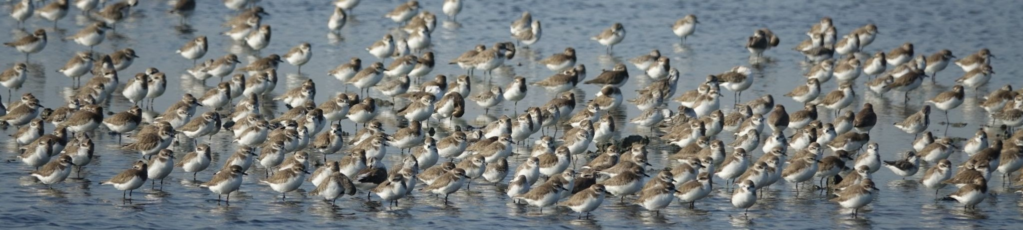 A mixed flock of shorebirds in Thailand from 2019. Such scenes are now nothing more than a distant dream in Singapore today.